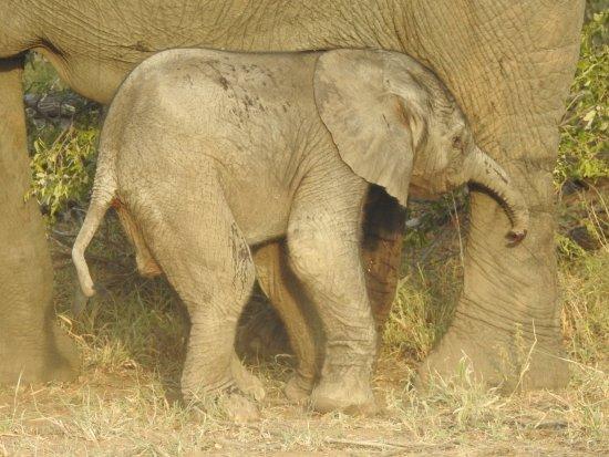 Timbavati Private Nature Reserve, Sydafrika: Newborn elephant, 15 minutes old