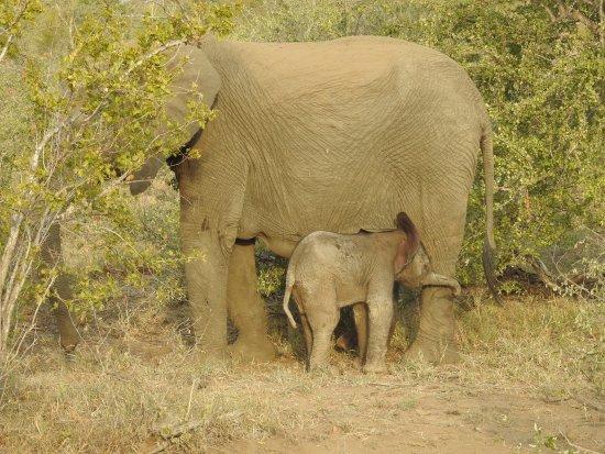 Timbavati Private Nature Reserve, Sydafrika: Newborn elephant with mother