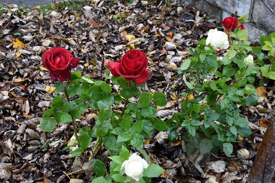 Route du Cercle d'Or : Roses in October (near Hveragerði)