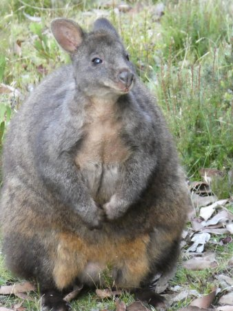 Cradle Mountain Hotel: Wallaby