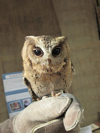 St Austell, UK: a visitor from the owl sanctuary