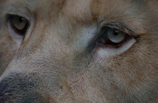 Olmen, بلجيكا: Owen de witte leeuw