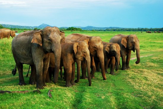 Habarana, Sri Lanka: Minneriya National Park Elephants Gathering