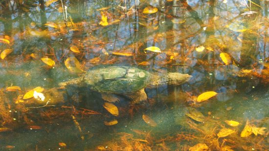 Busch Wildlife Sanctuary: Turtle. Was hard to see - had to use a polarizing filter to get this.