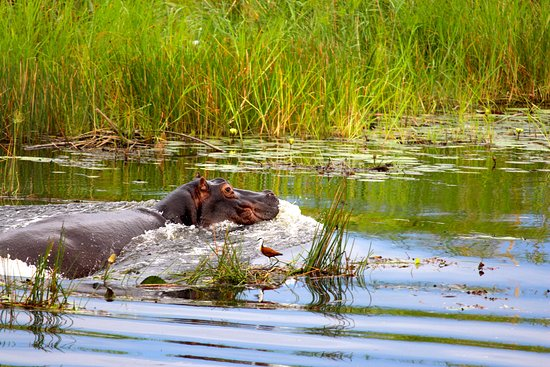 Lagoon Camp - Kwando Safaris: An active hippo on our boat cruise