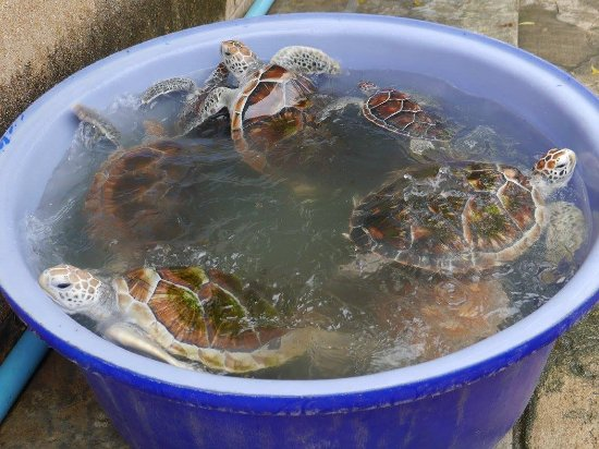 Sea Turtle Conservation Center, Sattahip: เต่าถูกย้ายมาไว้ในอ่าง เพราะมาช่วงล้างบ่อพอดี
