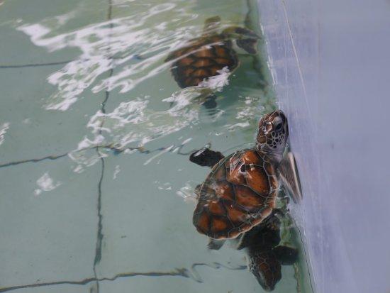 Sea Turtle Conservation Center, Sattahip: เต่าวัยเด็ก