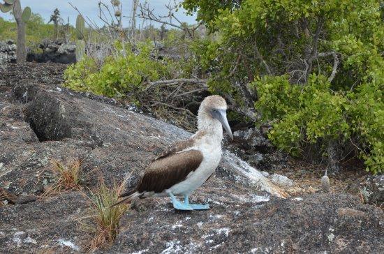 Puerto Villamil, Ekuador: The Blue Footed Booby!
