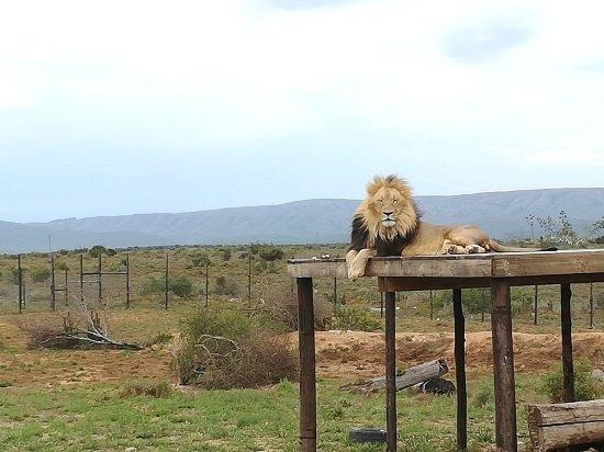 Kirkwood, Sydafrika: The King.