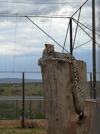 Kirkwood, Sudafrica: Leopard