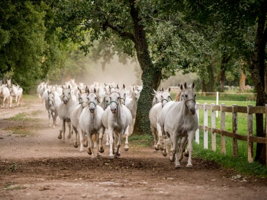 Admire the energetic morning run of mares to the pastures - Lipica