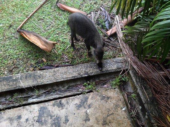 Bako National Park, ماليزيا: wild boar