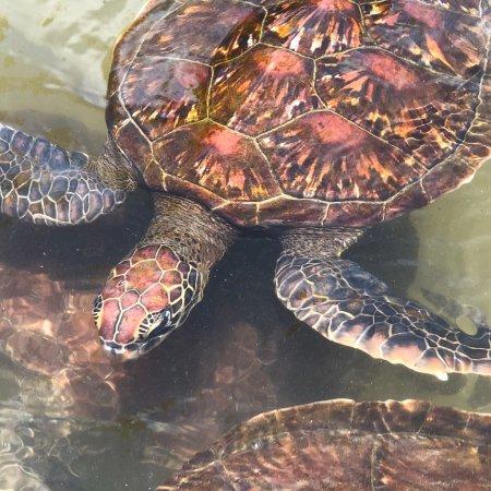 Nungwi, Tanzania: Intressant att få kunskap om sköldpaddornas liv och leverne.