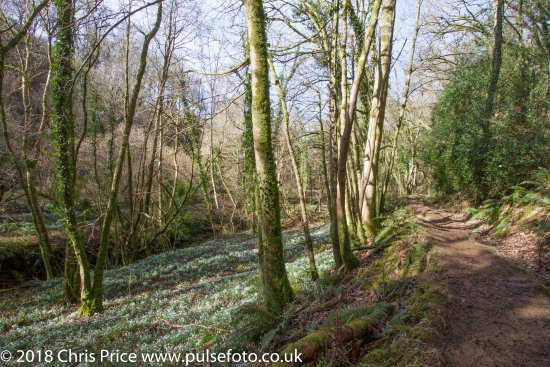 Wheddon Cross, UK: Snowdrop Valley 16th February 2108
