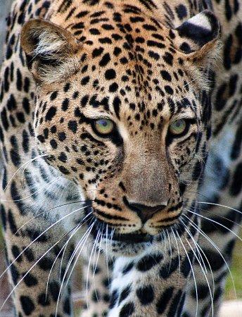 Rust de Winter, South Africa: Leopard