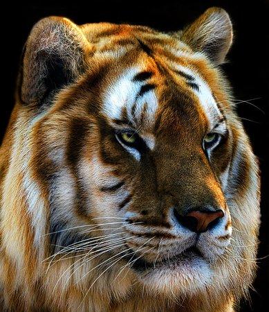 Rust de Winter, South Africa: Tiger