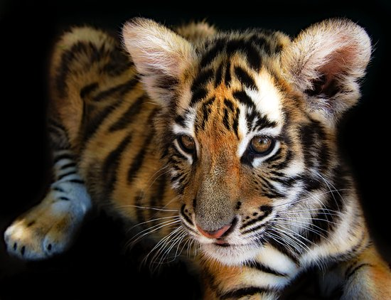 Rust de Winter, South Africa: Young 3 month old Tiger cub