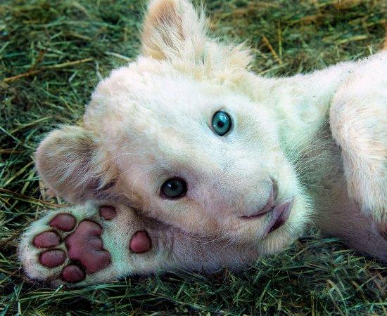 Rust de Winter, South Africa: Little white lLion cub