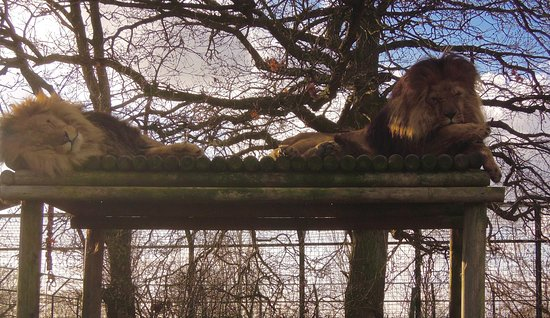 Smarden, UK: These beasts will wake you in the night with their roar !