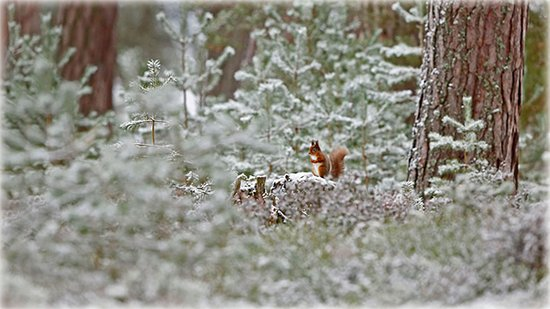 Badenoch and Strathspey, UK: Red squirrel in Cairngorms National Park, Scotland