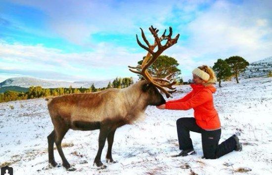 Cairngorm Reindeer Herd : Feeding one of the larger reindeer