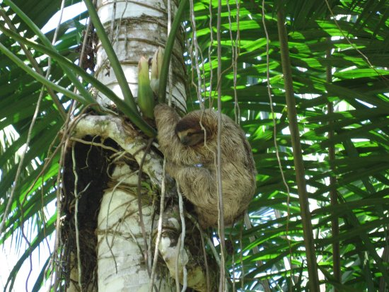 Tree House Lodge: Sloth on site