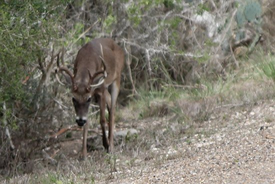 Texas Gulf Coast, TX: Whitetail Buck strolling along the trail