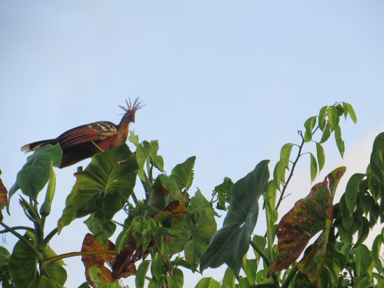 Georgetown, Guiana: The national bird