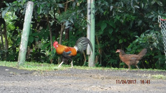 Papetoai, Polinesia Francesa: Roosters were EVERYWHERE!!!