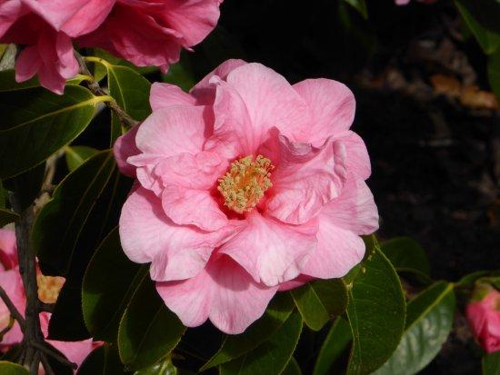 Mendocino Coast Botanical Gardens: Bursts of Pink as the Sun Peaks Through.