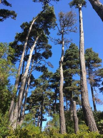 Mendocino Coast Botanical Gardens: Majestic Pines on the Pine Trail