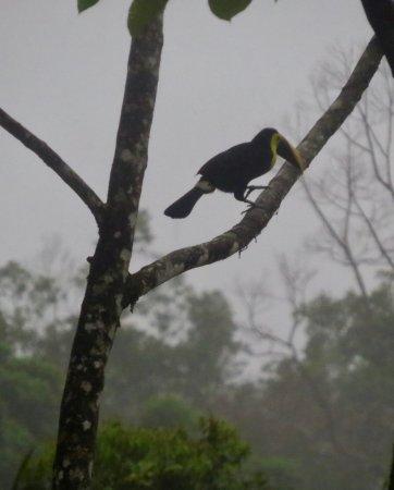 Chachagua, Kosta Rika: A toucan