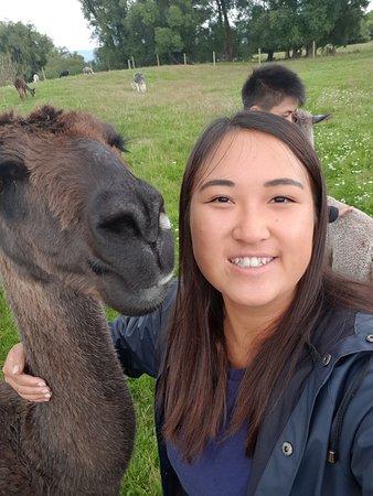 Фейерли, Новая Зеландия: Llamas