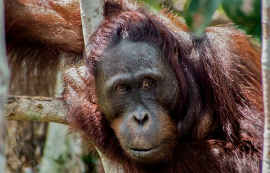 Pangkalan Bun, Indonesia: deep in the borneo jungle and see them