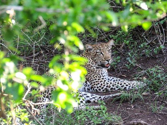 Phinda Private Game Reserve, Sydafrika: leopard