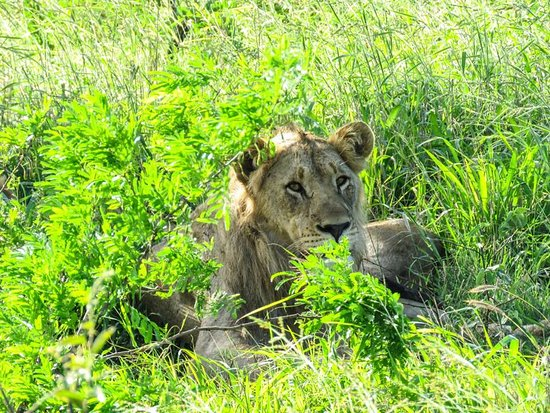 Phinda Private Game Reserve, South Africa: lion