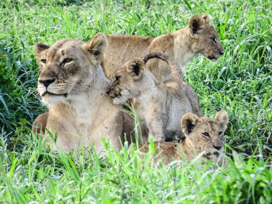 Phinda Private Game Reserve, South Africa: lioness and cubs