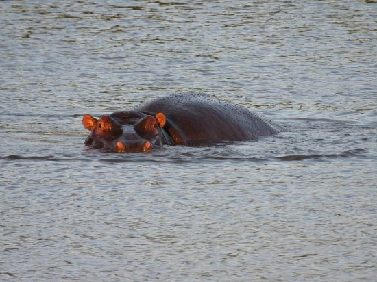 Phinda Private Game Reserve, South Africa: hippo