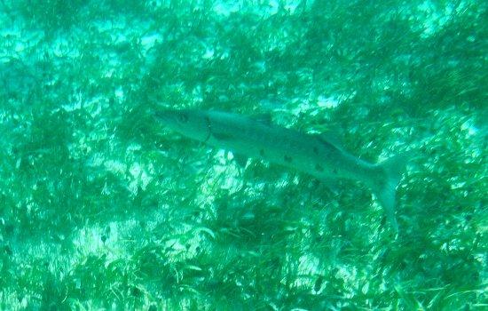 National Reef Park of Puerto Morelos : Barracuda