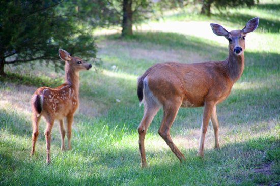 Eastsound, Вашингтон: Black Tail deer