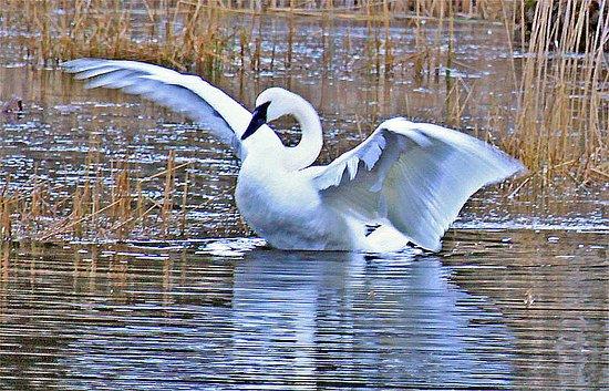 Eastsound, Вашингтон: Trumpeter Swan on our pond