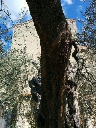 Abbazia di Sant'Antimo: uno degli ulivi antistanti alla basilica