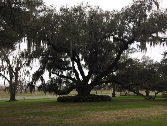 Destrehan, LA: Spanish Moss