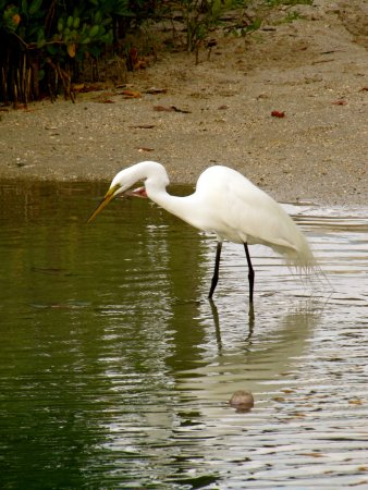 The Beachcomber: Giant Egret Fishing