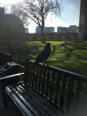 presence of ravens is traditionally believed to protect the crown