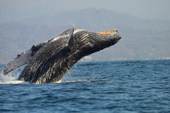 Nuevo Vallarta, Meksyk: Humpback whale breaching. Salto de ballena jorobada