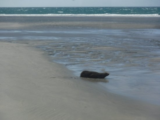 Collingwood, New Zealand: Another Seal