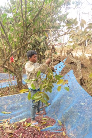 Paksong, Laos: Villagers harvesting their coffe