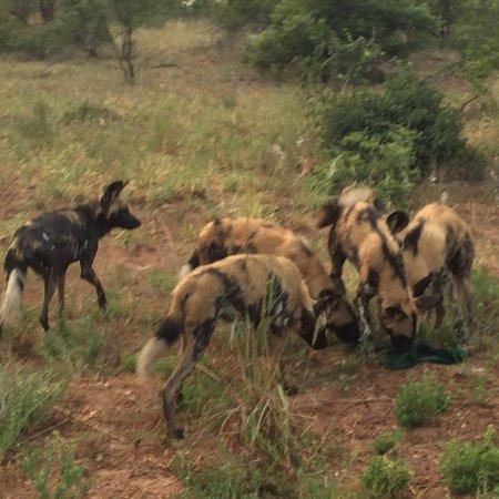 Timbavati Private Nature Reserve, Sydafrika: Great Safari Lodge!!