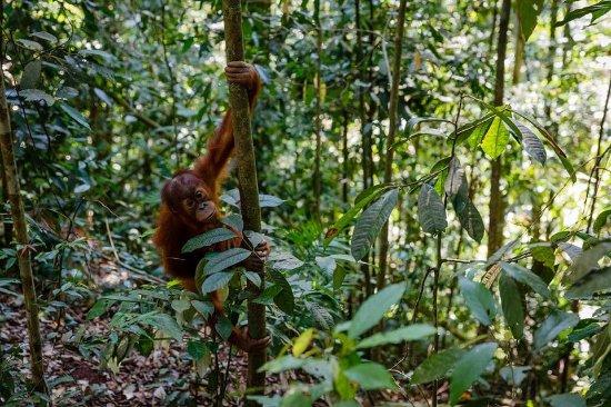 Bukit Lawang, Indonesia: Orangutan 1